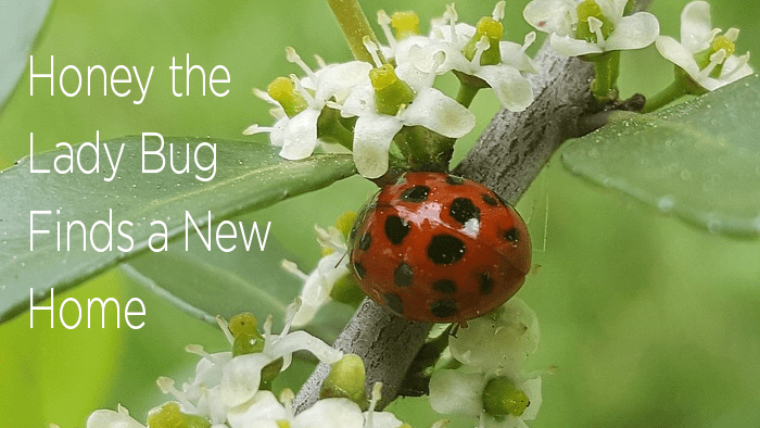 Honey the Lady Bug Finds a New Home