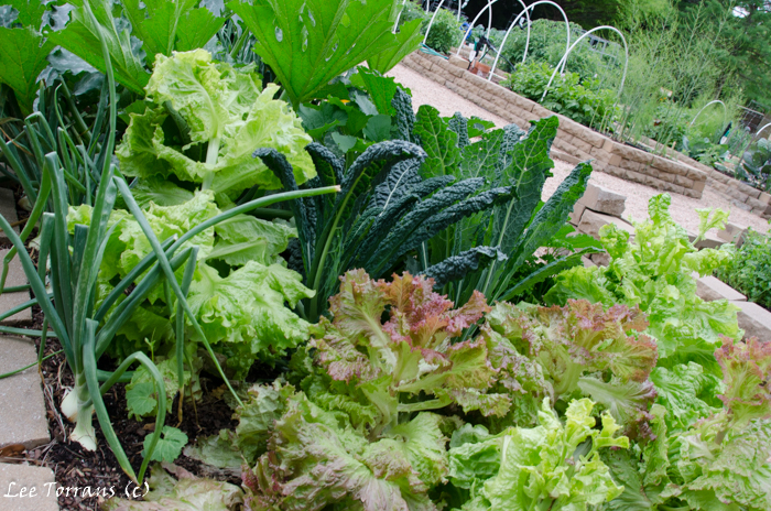 Spring Lettuces and Chard in Raised Bed Gardening Texas Landscape Design