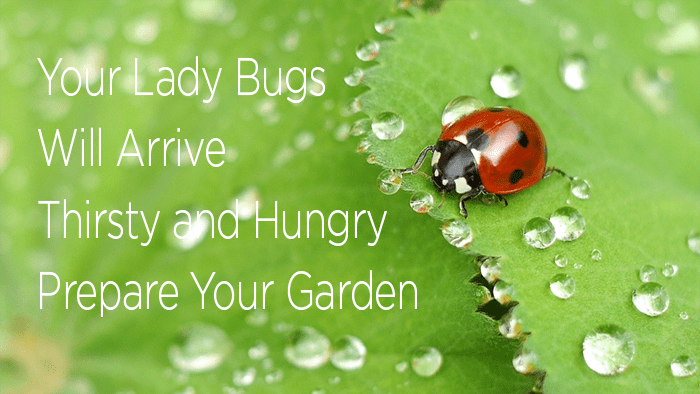 Lady Bugs will arrive thirsty and hungry. Prepare your garden and release them at night. They do not fly in the dark.