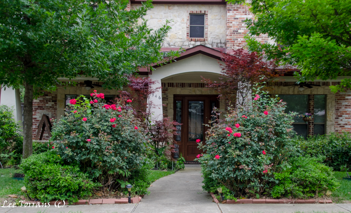 Welcoming Entrance with Mature Knockout Roses
