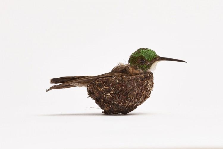 Hummingbird in its nest