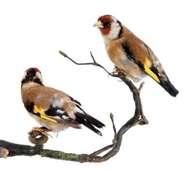 A goldfinch from the Leeds Museums and Galleries collection which is being used to help home birdwatchers identify birds in their gardens.