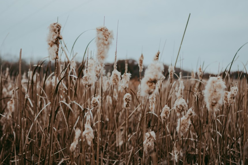 nature photography muted tones cat tails