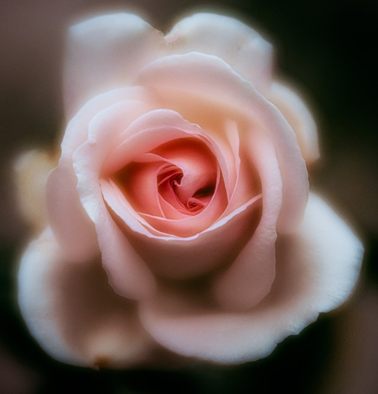 flower rose photography leela moon art
