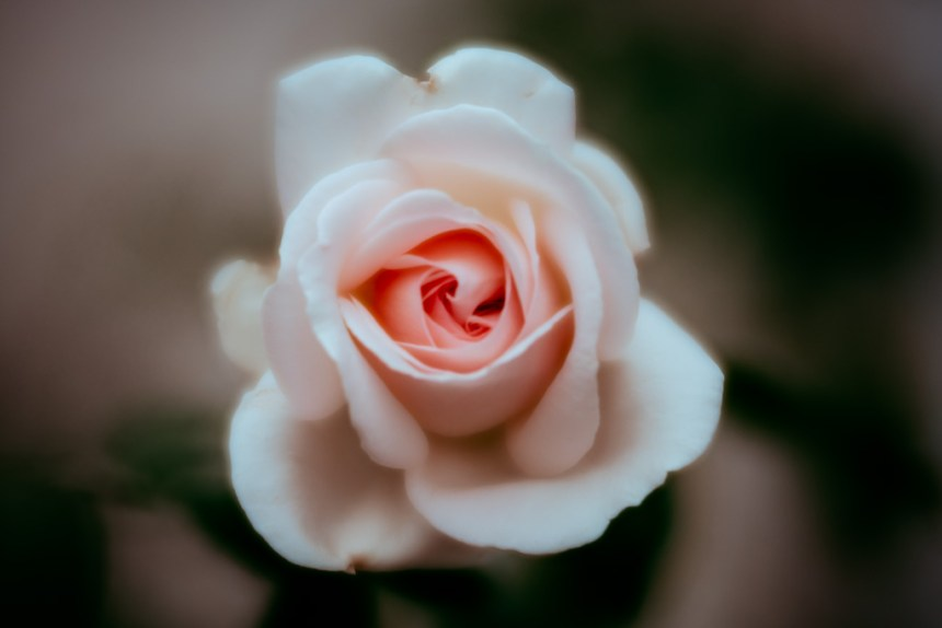 rose flower fine art photography leela moon