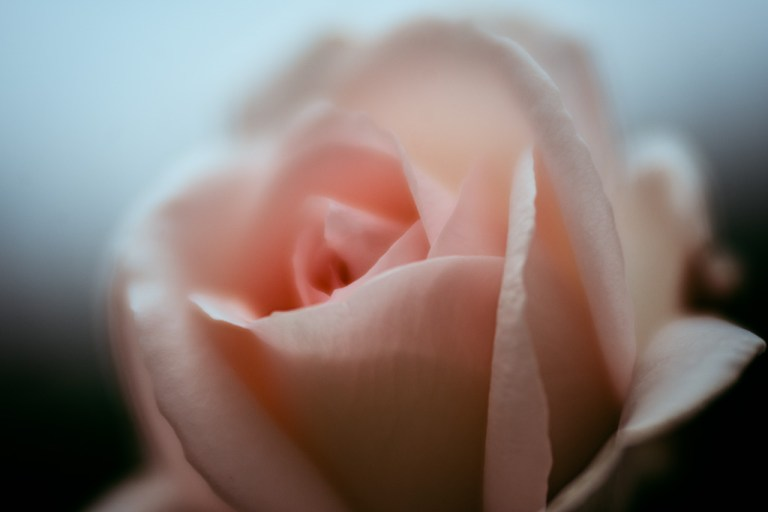 pastel rose flower photography leela moon art