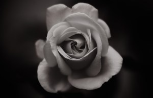 black and white rose fine art flower photography