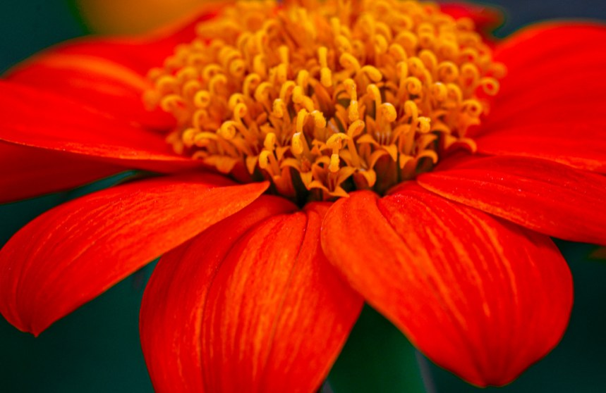 orange dahlia flower photography