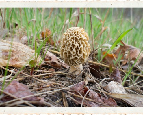 Leelanau Morel Page: Hunting Morel Mushrooms on the Leelanau Peninsula