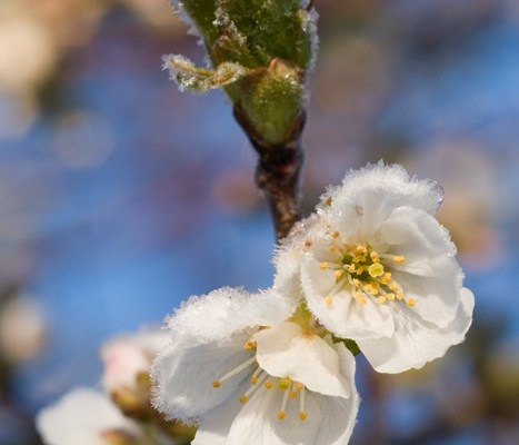 Frosted: May 20th freeze takes toll on cherries, vineyards
