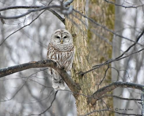 Know Your Leelanau Birds: Barred Owl