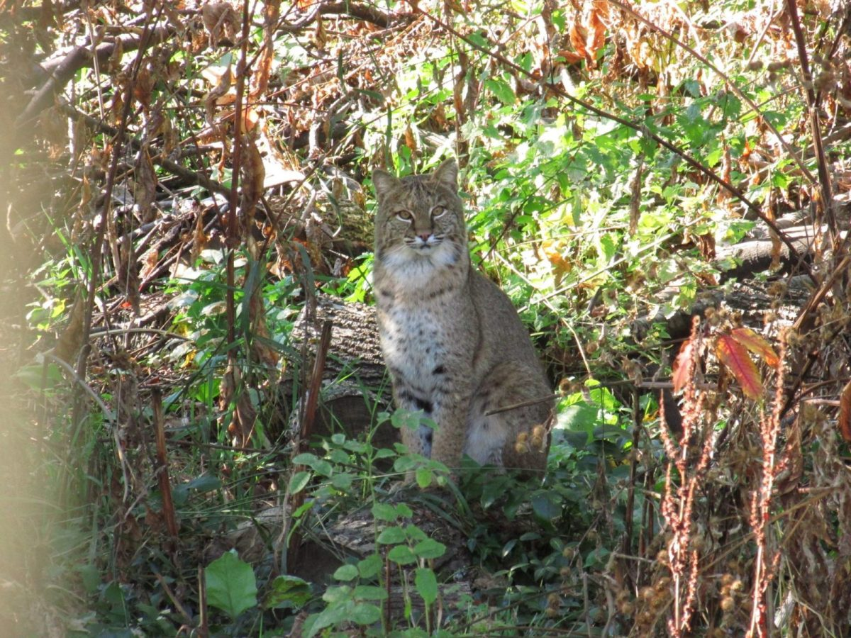 Here Kitty Kitty: Fantastic Northport Bobcat Photo