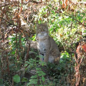 Here Kitty Kitty: Fantastic Northport Bobcat Photo