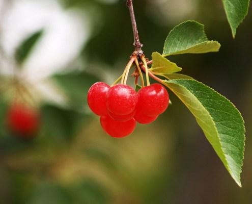Tart Cherries by Andrew McFarlane