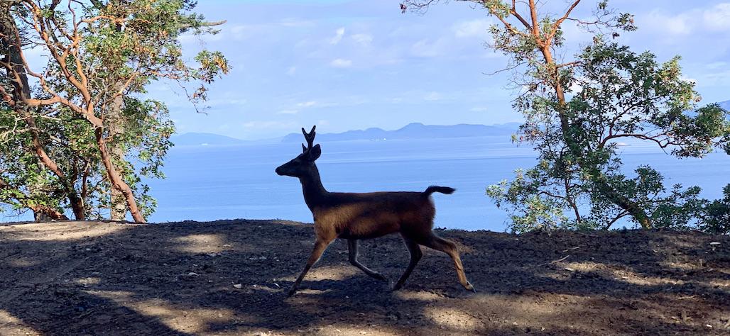 Oh, Deer – An Island Sized Pandemic 🦌