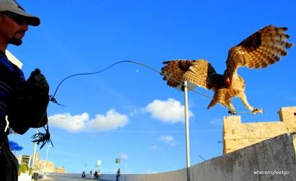 an owl on a leash in flight.