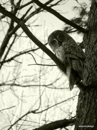 a monochrome photo of an owl up in a tree cocking its head to the left