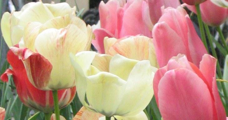 tulipdance