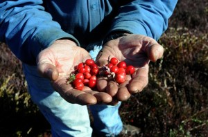 Bill Fox holding cranberries at Fox's Cranberry Bog in Mullica Township, NJ, in 2011. Photo by Anthony Smedile.