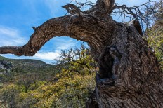 Curving trunk of a big oak tree in the Chisos Mountains of Big Bend National Park, Texas, USA