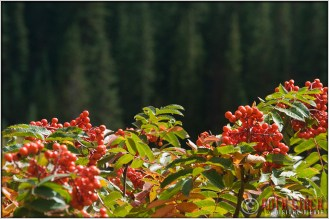 Wild Berries Near Crested Butte, Colorado