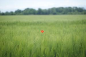one red poppy amongst tall green grass