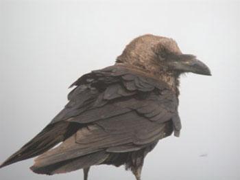 Brown-necked Raven, Israel