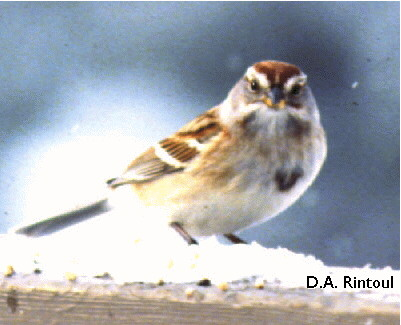 Birds Of The Bible Sparrows I Lees Birdwatching