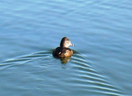 1st photo of 2009 - Female Ring-necked Duck 1st photo of 2009