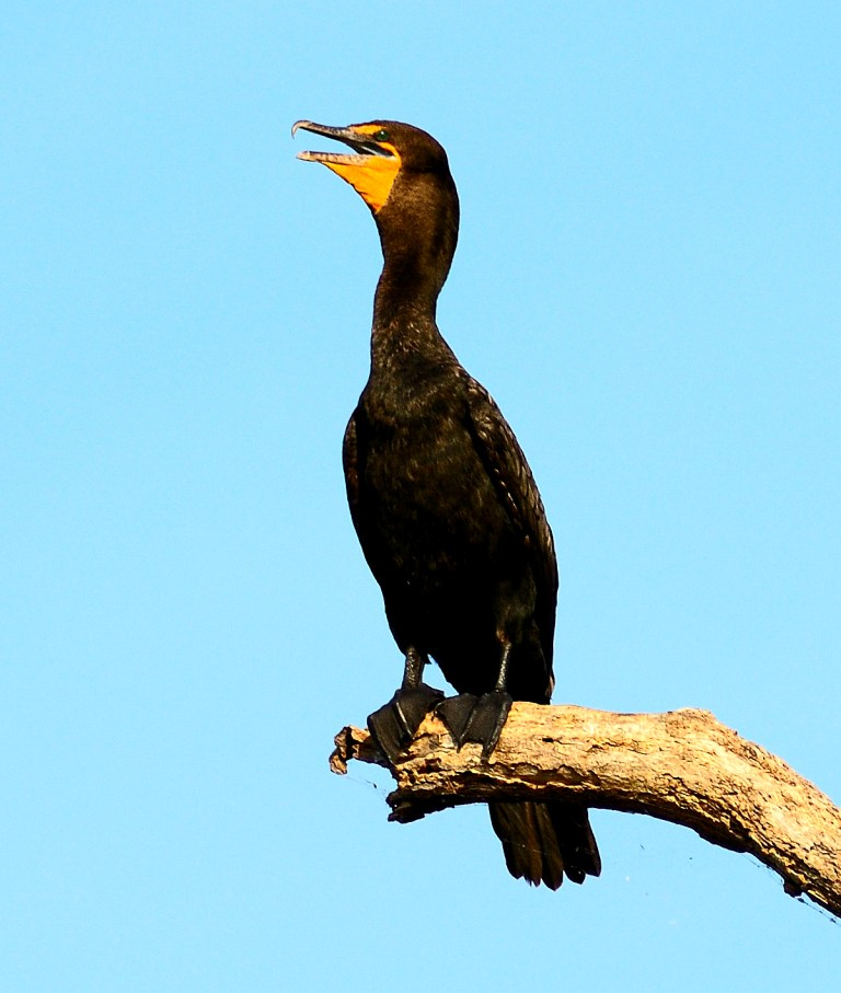 Double-crested Cormorant 2008