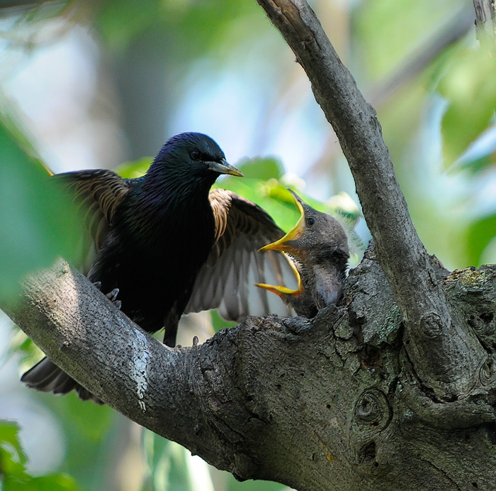 Common Starling (Sturnus vulgaris) at Nest by Anthony747