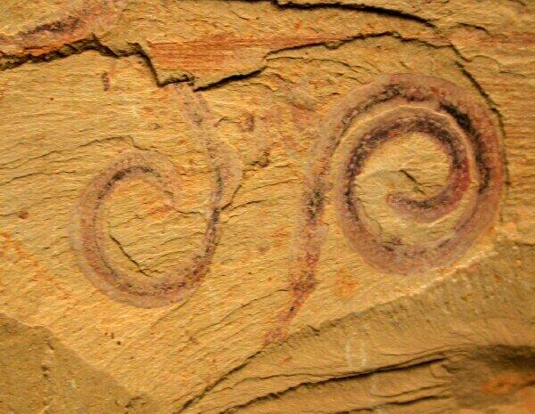 Maotianshania cylindrica found in China