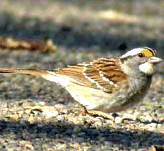 sparrow-whiteThroat1