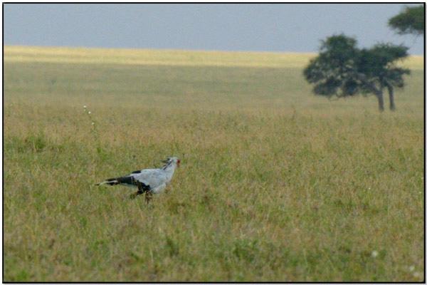 Secretarybird (Family Sagittariidae) by Dave's BirdingPix