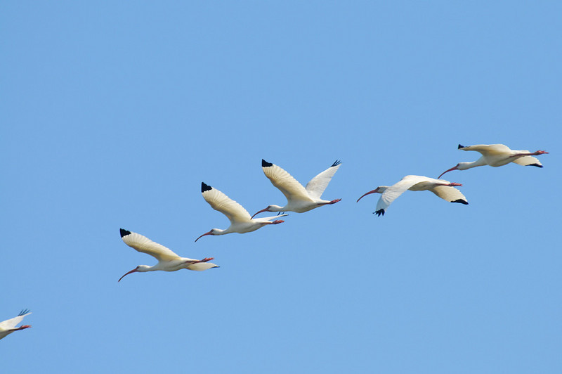 Off on another search - American White Ibis by Bob-Nan