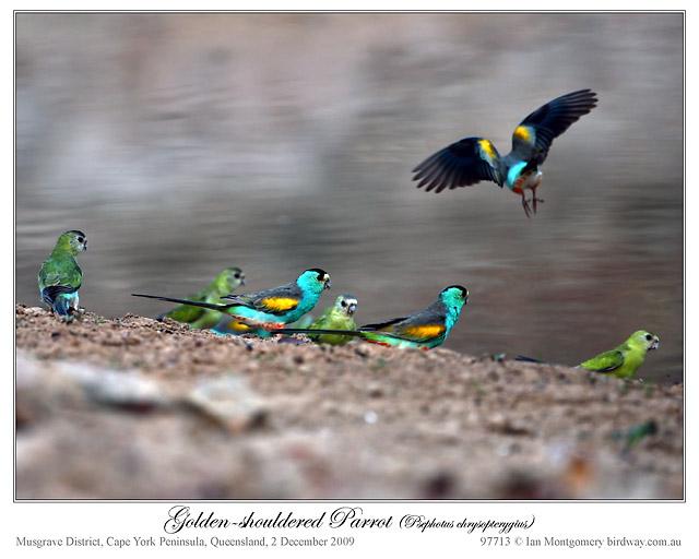 Golden-shouldered Parrot (Psephotus chrysopterygius) by Ian