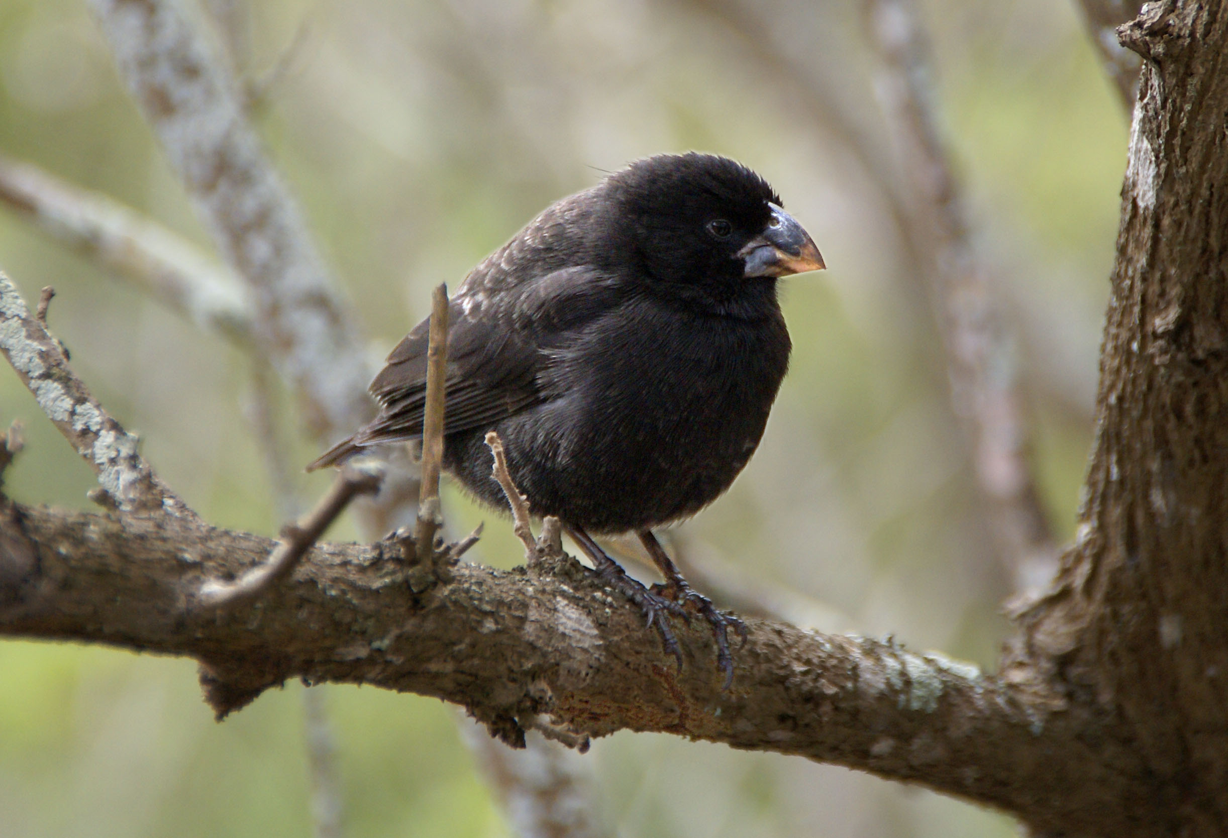 New Finch Species Shows Conservation