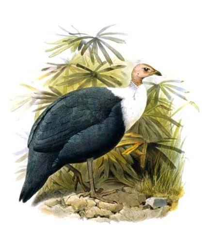 White-breasted Guineafowl (Agelastes meleagrides) ©DrawingWikiC