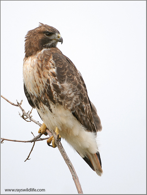 Bird of the Bible - Hawk Migration (2/2)
