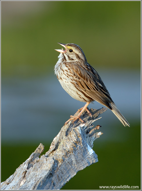Savanna Sparrow Singing (By Ray)