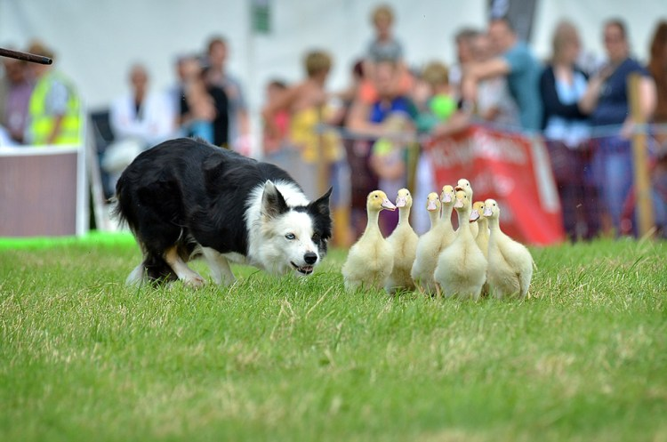 Sheep dog at Emley Show 2016