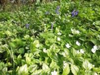 bosanemoon, gele dovenetel, wilde hyacint
