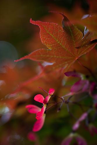 Maple tree seeds