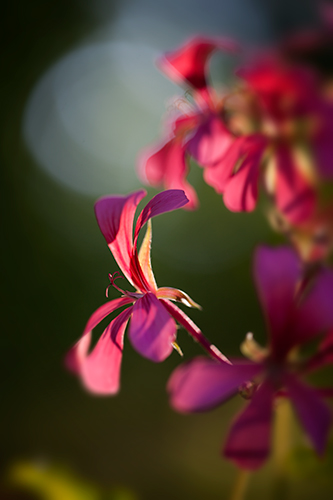 Ivy leaf geranium