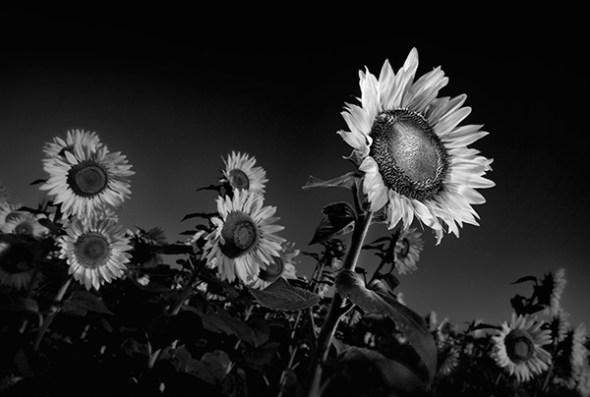 Sunflowers in Black & White