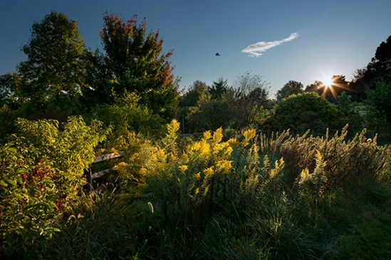 Goldenrod at sunrise