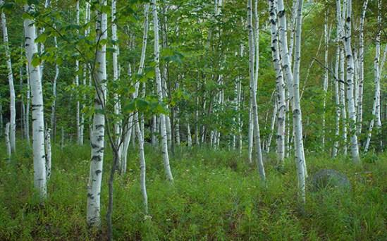 White birches. Acadia National Park