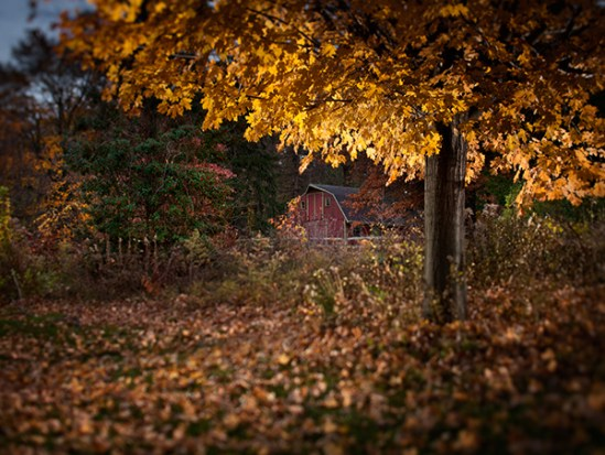 Maple tree and red barn