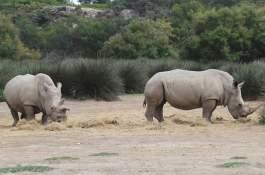 Rhinoceros of Sigean African Reserve