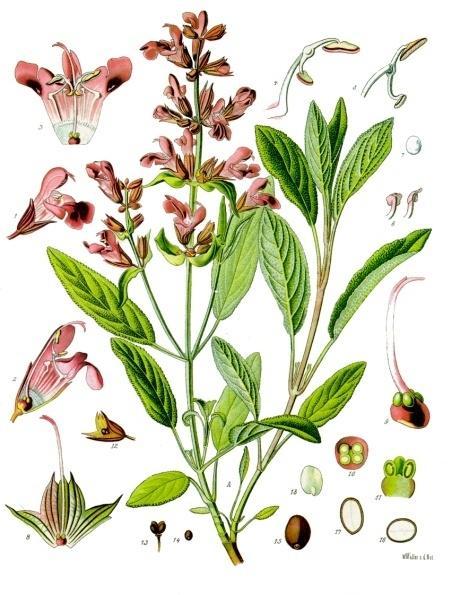 Salvia_officinalis_-_Köhler–s_Medizinal-Pflanzen-126